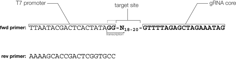 gRNA primers